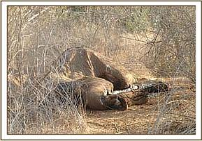 Poached elephant by poisoned arrow