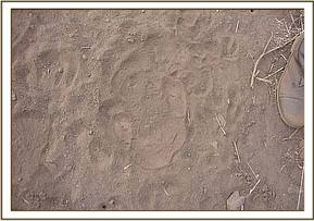 Rhino footprints seen in the Chulus