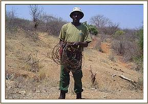 Member of the Ziwani team with collected snares