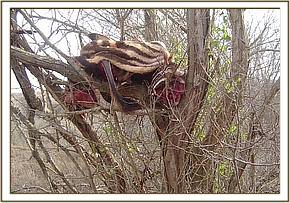 Zebra carcass placed in a tree by poachers