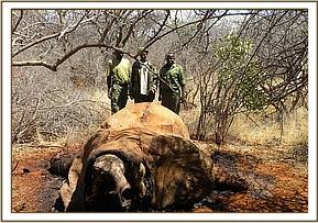 A second poached elephant carcass