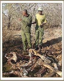 Dead snared giraffe at kiboko