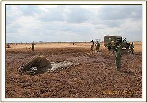 Rescuing an elephant who got stuck in the mud