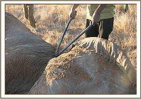 Cutting the snare off the elephant