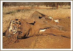 poached elephant carcass