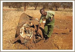 team member showing tusks removed