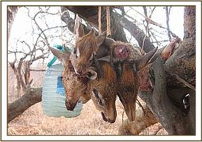 arrested poacher and meat