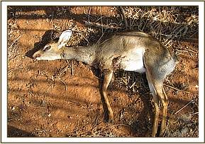 Dead dikdik found in snare at Macho kobo