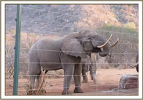 a wild elephant at ithumba stockades