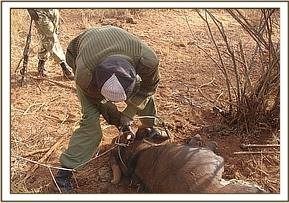 team member removing the snare
