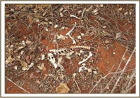A dikdik carcass at lionhill area