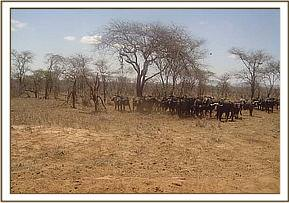 Herd of buffaloes sighted during game drive