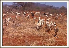 Illegal livestock grazing