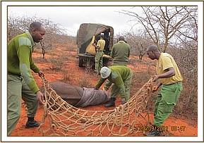 The team rescues an orphaned elephant in Kasigau