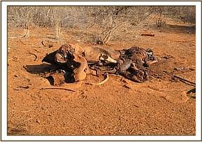 Elephant carcass at Tharakana area