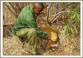 Felix rescuing a young snared bush buck