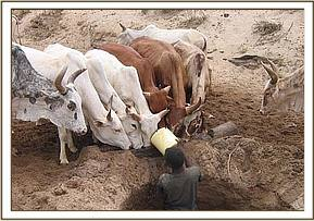 The herders giving water to their cattle