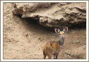 Emaciated bushbuck looking for water on dry river