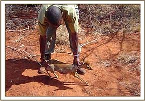 Rescuing a Dik Dik from a snare