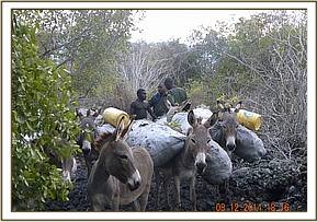 Donkeys used by charcoal burners
