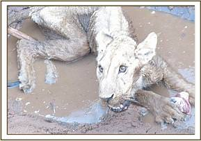Lion drowned in a pool at Bisadi area