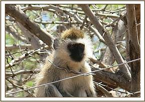 Monkey with a snare at Gazi area