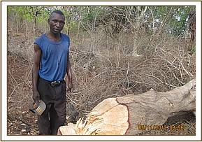 A man caught logging in kibwezi forest near Duwa