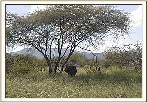 A sickly buffalo spotted at Ngutuni