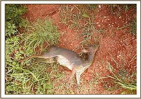 A drowned Dikdik found at Ndii