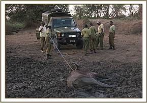 Team members rescuing a buffalo