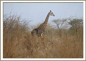 Giraffe seen during the game drive