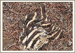 zebra remains at mgeno ranch