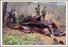 Carcass of a snared giraffe