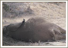 Dead elephant due to viral disease near lugards