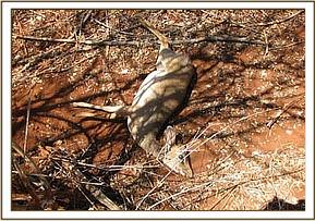Dead snared dikdik at Mathae