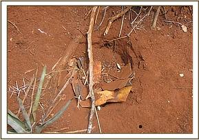 Pit snare found at Mwatate