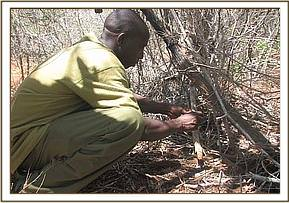 Desnaring team member lifting a snare