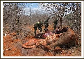 Fresh elephant carcass at Wamata area