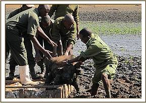 Helping a trapped baby buffalo from the mud
