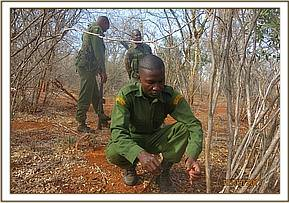 Removing snares at Umbi
