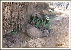 Pulling buffalo out of the mud