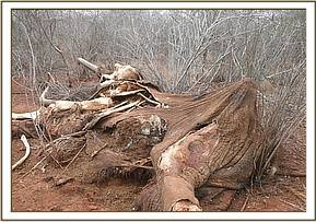 Elephant carcass with ivory at powerline