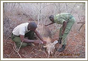 Saving a snared waterbuck