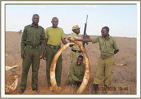 Recovered elephant tusks in  Ndara plains .