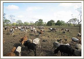 Cattle influx in Chyulu National Park