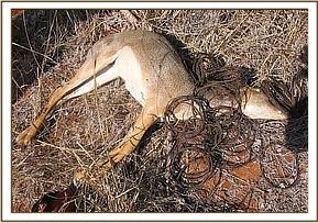 Snared Dikdik with retrieved snares