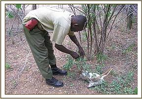 De-snarer removes wire from snared dikdik