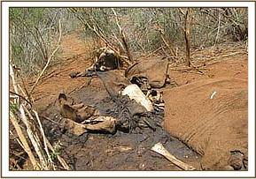 the elephant carcass near Ithumba