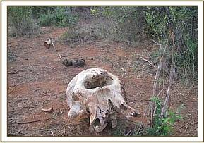 Skull of an elephant found at Kalovoto stream