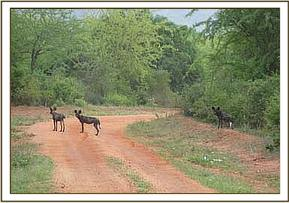 Wild Dogs near Ithumba